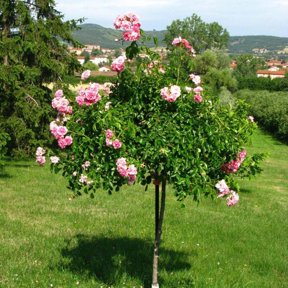 Comment planter un rosier tige